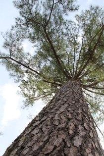 backyard-pine-tree