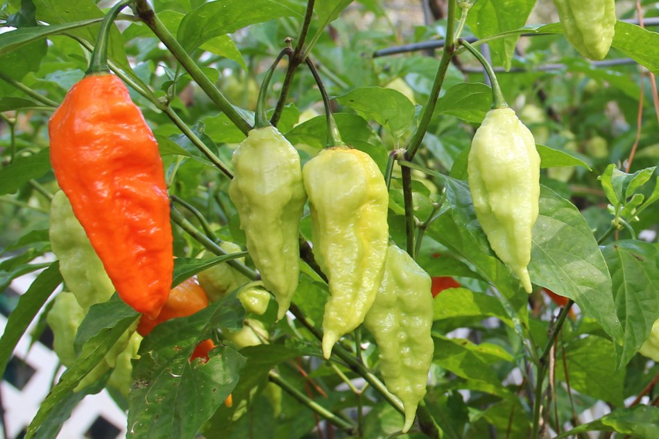 The coveted and feared ghost (bhut jolokia ) pepper