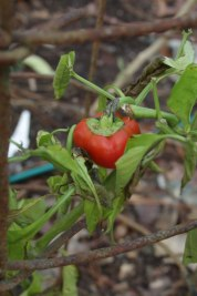 I've eked out a few peppers from this plant, but it has been unhappy since seedlinghood.