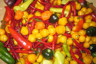 A pepper harvest